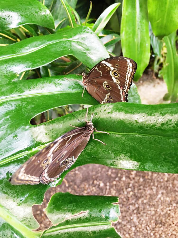 fluturi-tropicali